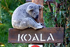 Koala decided to sit on his sign